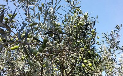 Olivenblatt ein uraltes Heilmittel