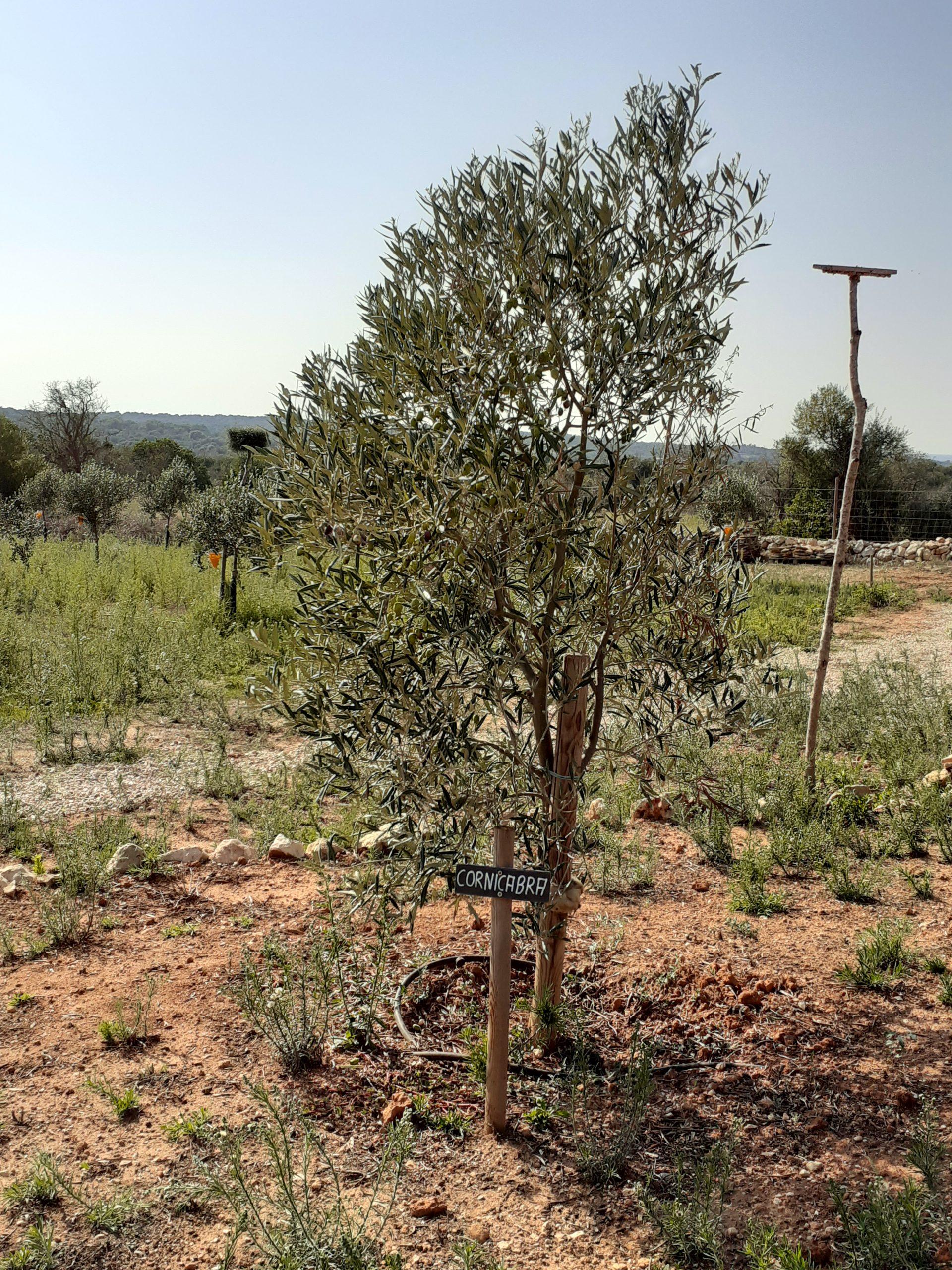 Olivenöl-Manufaktur, Cornicabra